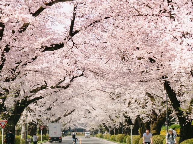 Japan Cherry Blossom Tour Photos