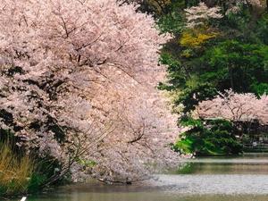 Cherry Blossom Japan Tour - 7 Days