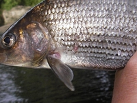 Winter Grayling Fishing