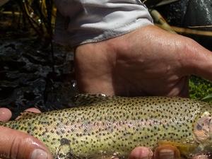 Fishing Rainbown Trout in Tigre Stream, Mendoza