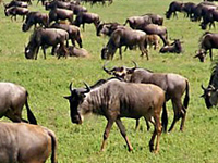 Greatest Show on Earth, Wildebeest Migration