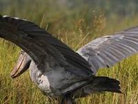 Birding Uganda 17 Days
