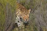 Aquila Safari Leopard 3