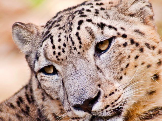 Get a Chance to See the Rare Snow Leopards in the Wild Photos
