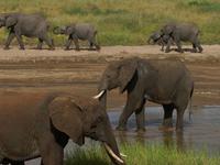Elephants Parading Along The River 640 480