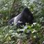 Mountain Gorilla, Syliverback