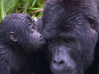 8 Days Primate Safari