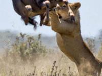 62456 Palmridgetours Easter Special 3 Days 2 Nights Masai Mara Safari Lion Hunting Wildebeest 800x534