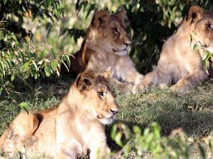 Masai Mara Camping with Wildlife in Action Safaris Fotos
