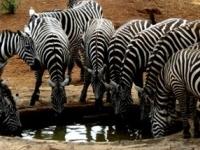 Zebra - Uganda National Game Park