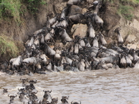 Wildbeest Crossing The Mara River