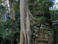 Huge Silk Cotton Tree