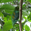 Three Horned Chameleon Found In Only Bwindi