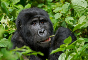 Best Offer for Bwindi Impenetrable Forest Gorilla Trekking Photos