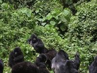 Gorillas Families Uganda