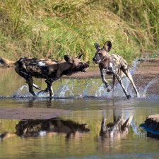 South Luangwa Wild Dogs