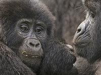 Gorilla tracking, Chimpanzee tracking & Wildlife Combo
