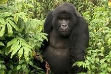 Ultimate Rwanda Gorillas and Chimpanzee Safari Fotos