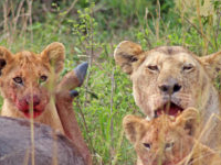 Find Lions In The Maasai Mara - 3 Game Drives Included