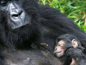 Gorilla Trekking Rwanda Fotos