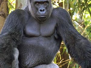 Virunga Gorilla Trekking Fotos