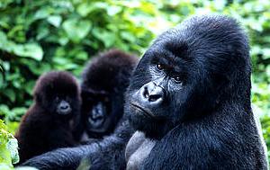 Gorilla Tracking in bwindi Fotos