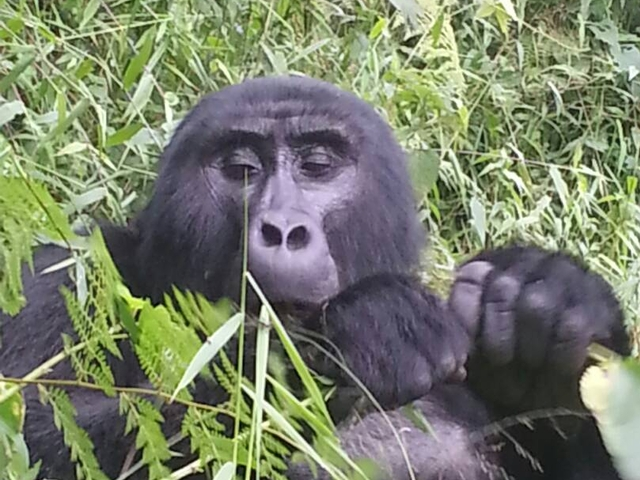 Gorilla Tracking - Uganda Photos