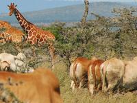 6 Days Samburu, Ol Pejeta Tour