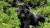 Gorillas Volcanoe