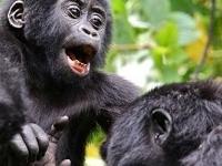 Octagon Safari: Chimpanzees, Gorillas and Lions