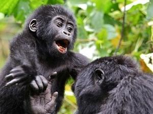 Octagon Safari: Chimpanzees, Gorillas and Lions Fotos