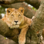 Lion Kubwafive Safaris
