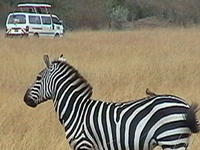 7 Days Magical Masai Mara Migration Safari full time seasons