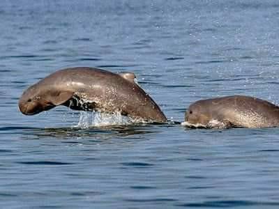Irrawaddy Dolphin Photos