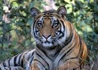 Tiger Safari Tadoba