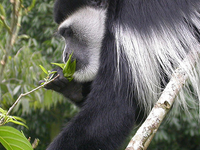 6 Days-Primate-Safari-Bwindi-and-Kibale National Park