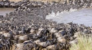 Serengeti National Park and the great Wild Beest Migration