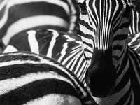 6 Day Migration Safari (Ngorogoro Crater / Ndutu / Serengeti)
