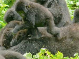 Uganda - 3 days Bwindi Gorilla trekking Safari