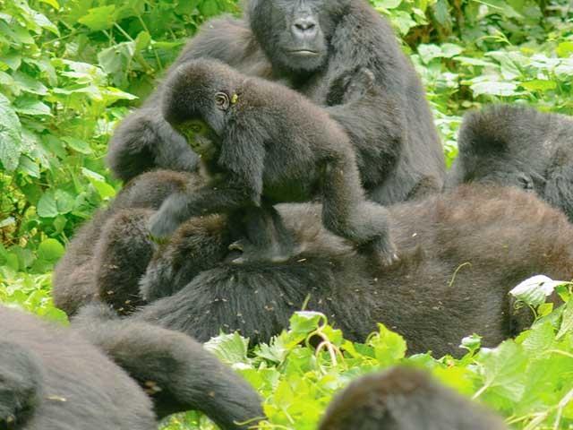 Uganda - 3 days Bwindi Gorilla trekking Safari Photos