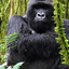 Gorilla Encounters