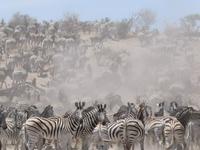Zebra Migration day trip Makgadikgadi National Park
