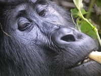 Yaneta Safaris Uganda Gorilla Tours