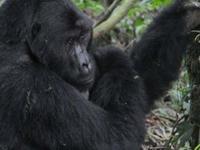 Four Days Gorilla Trekking Safari