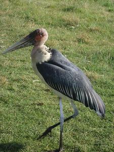 Marabo Stork