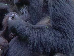 3 Days Gorilla Safari Photos