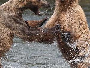 Bears of Katmai (July 2020) Photos