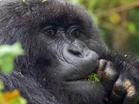 Gorillas and Wildlife Safari