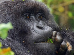 Gorillas and Wildlife Safari Photos