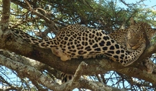 Leopard Rest On The Tree In Murchison Falls National Park